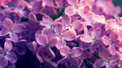 Lilac 20195
