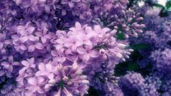 Lilac Flowers 20196