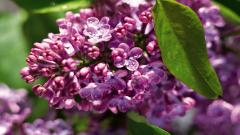 Lilac 20201