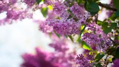 Lilac 20204
