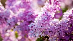 Lilac Flowers 20190