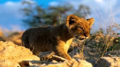 Lion Cub Wallpaper 24456