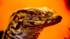 Lizard 21422