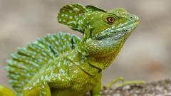Lizard 21424