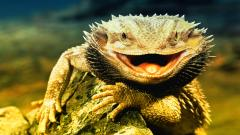 Lizard 21427