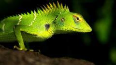 Lizard Pictures 21432
