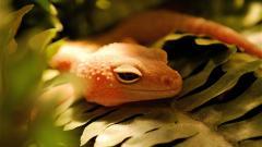 Lizard Pictures 21434