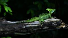 Lizard Wallpaper 21409