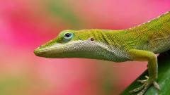 Lizard Wallpaper 21412