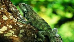 Lizards 21426