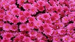 Magenta Flowers Wallpaper 29057