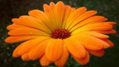 Orange Flower 19331