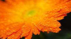 Orange Flower 19343