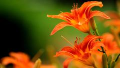 Orange Flowers 19349