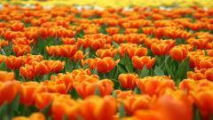 Orange Flowers 19354