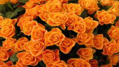 Orange Flowers Wallpaper 19356