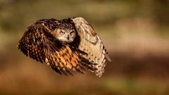 Owl Flying Wallpaper 5918