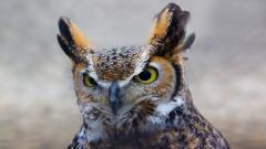 Owl Up Close Computer Wallpaper 5933