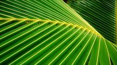 Palm Leaf 27157