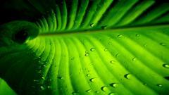 Palm Leaf 27158