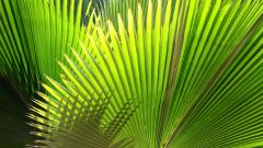 Palm Leaf Wallpaper 27156