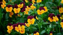 Pansies Background 31062