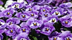 Pansies Pictures 31057