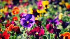 Pansies Wallpaper 31056