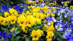 Pansies Wallpaper 31063