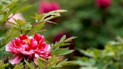 Peony Flowers 31257