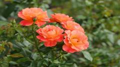 Peony Flowers 31261