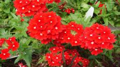 Perennial Flowers 14075