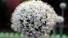 Perennial Flowers 14079