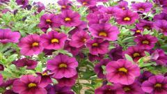 Perennial Flowers 14081