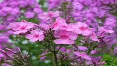 Perennial Flowers 14082
