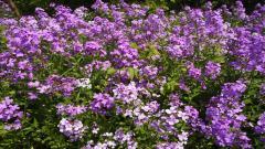 Perennial Flowers 14084