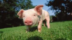 Pig Wallpaper 24429