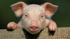 Pigs 24435
