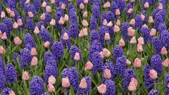 Pretty Hyacinth Flowers 20177