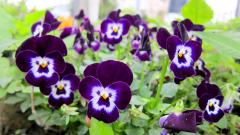 Pretty Pansies Wallpaper 31067
