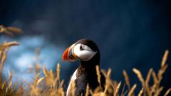 Puffin Wallpaper 24799