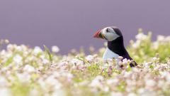 Puffin Wallpapers 24806