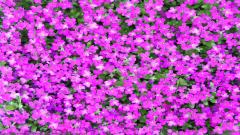 Purple Flowers 14068