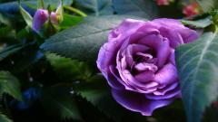 Purple Roses 29512