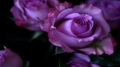 Purple Roses 29514