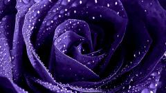 Purple Roses Wallpaper 29513