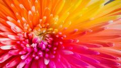 Rainbow Flower 17367