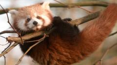 Red Panda 27521