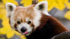 Red Panda 27525