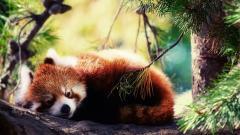 Red Panda 27531